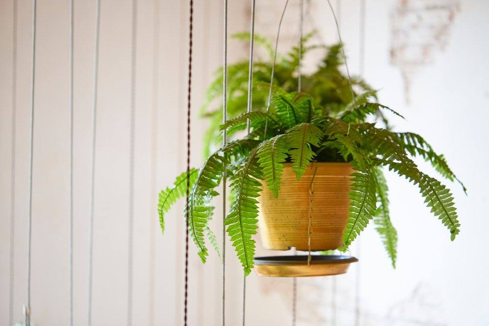 Household Plants That Are Non-Toxic To Cats And Dogs Boston Fern